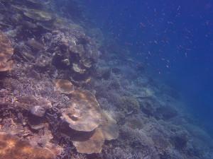 ドロップオフのテーブル珊瑚