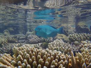 ぶだいと珊瑚
