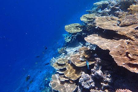 モルディブ ヴィラメンドゥの珊瑚