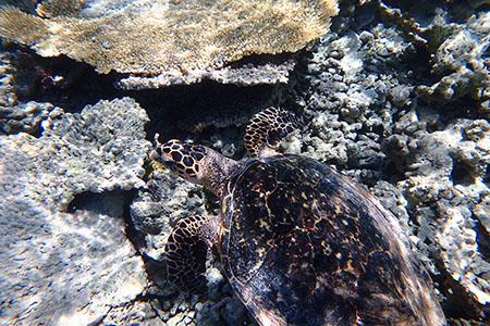 モルディブのウミガメ